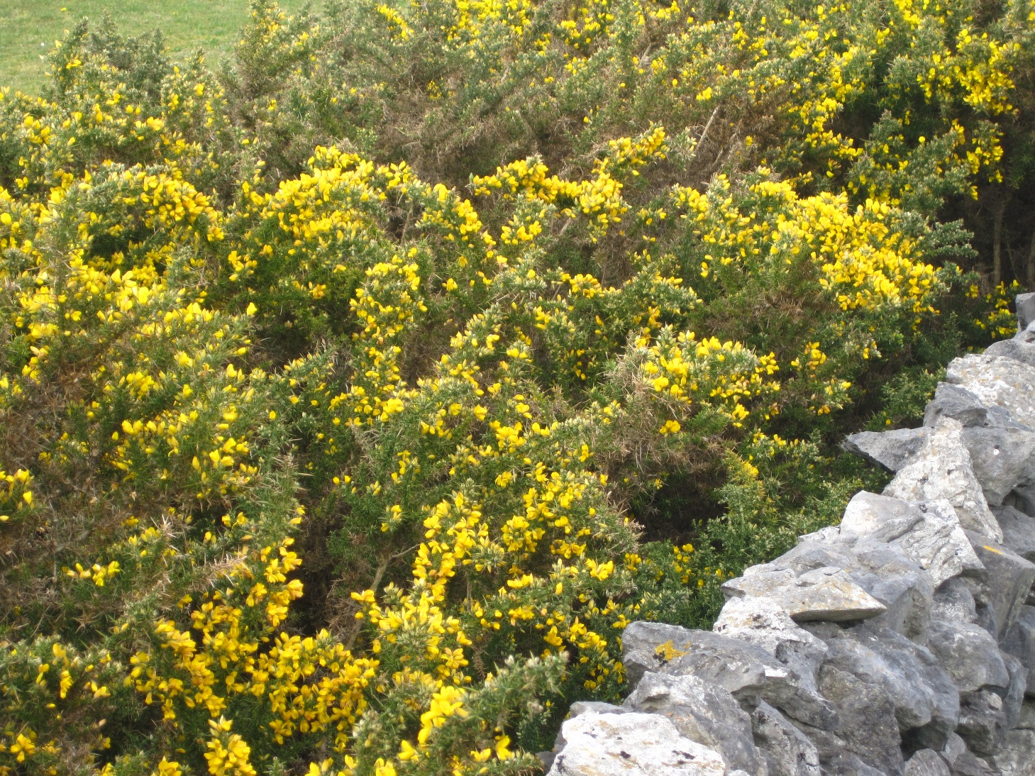 Yellow flowers inis mein and aussie style hows the serenity yellow flower spiky bush 2 mightylinksfo Images