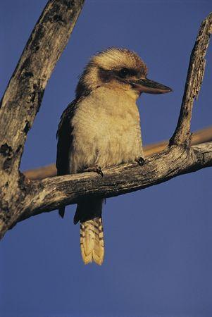 birdwatching-kookaburra