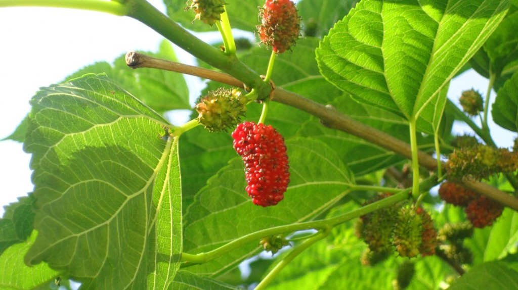 first mulberries of spring (2)