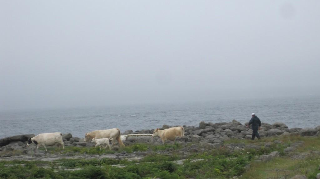 cow herding 01