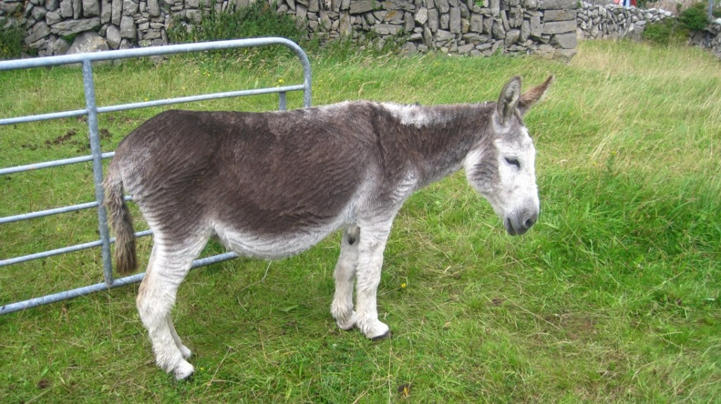 14 July 2014 Inis Meàin donkeys (1)
