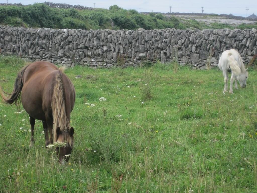 15 July 2014 Horses Inis Meain (3)
