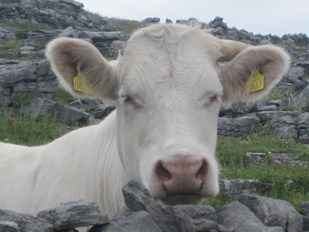 16 July 2014 White cow at Synge's Chair (8)