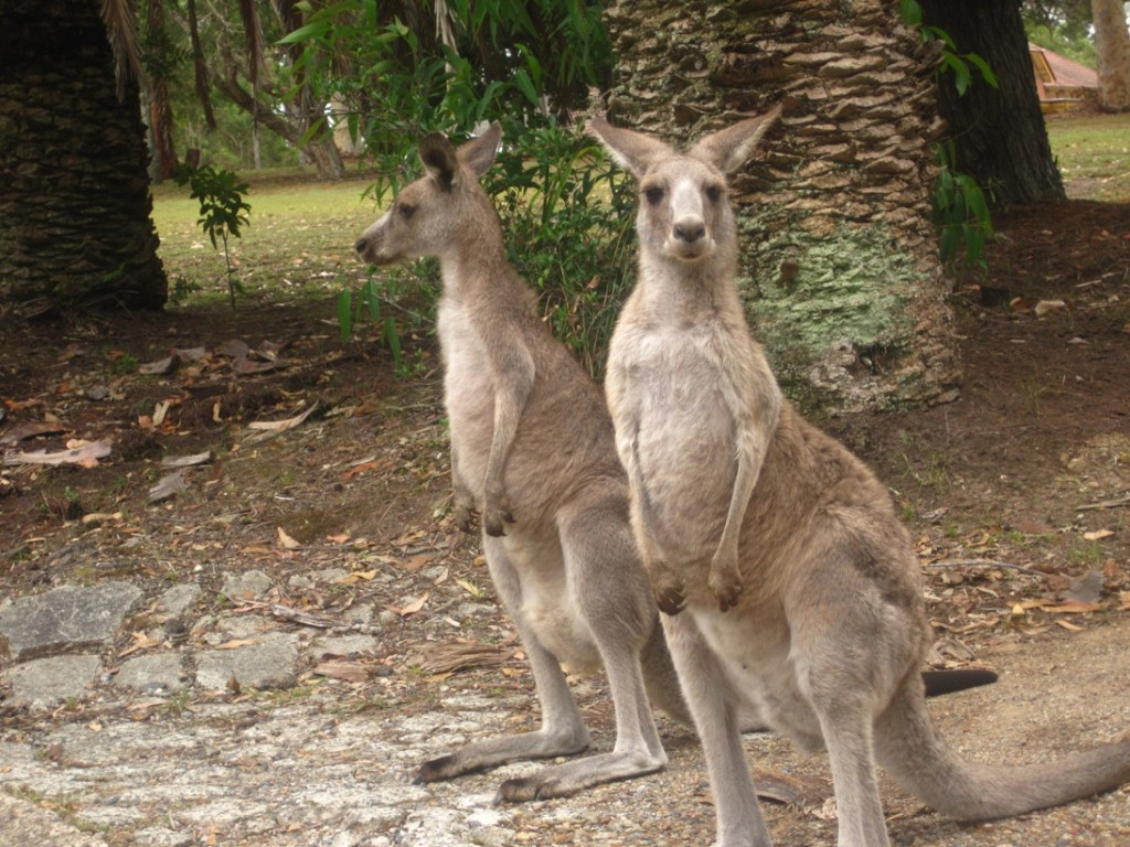 Kangaroos at Morisset with Jenny and John (1)