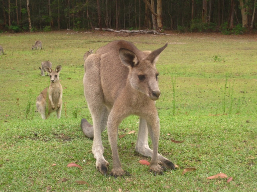 Kangaroos at Morisset with Jenny and John (28)