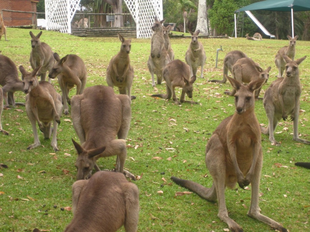 Kangaroos at Morisset with Jenny and John (6)