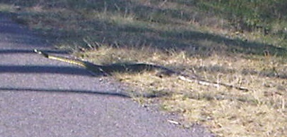 snake on alton rd 13 Oct 2013 01